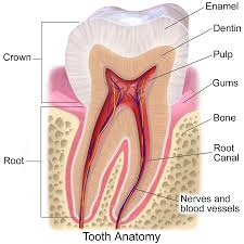 All about Tooth Enamel, a colorful graph with teeth anatomy labeled, including dentin, enamel, pulp, crown, roots