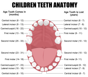 Anatomy of children teeth (shows eruption and shedding time), vector illustration (for basic medical education, for clinics & Schools)