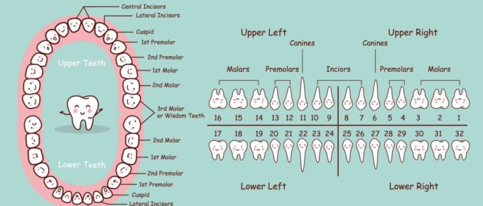 Here's your incisor 101