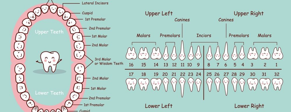 Dentist Truths: All About Your Incisors